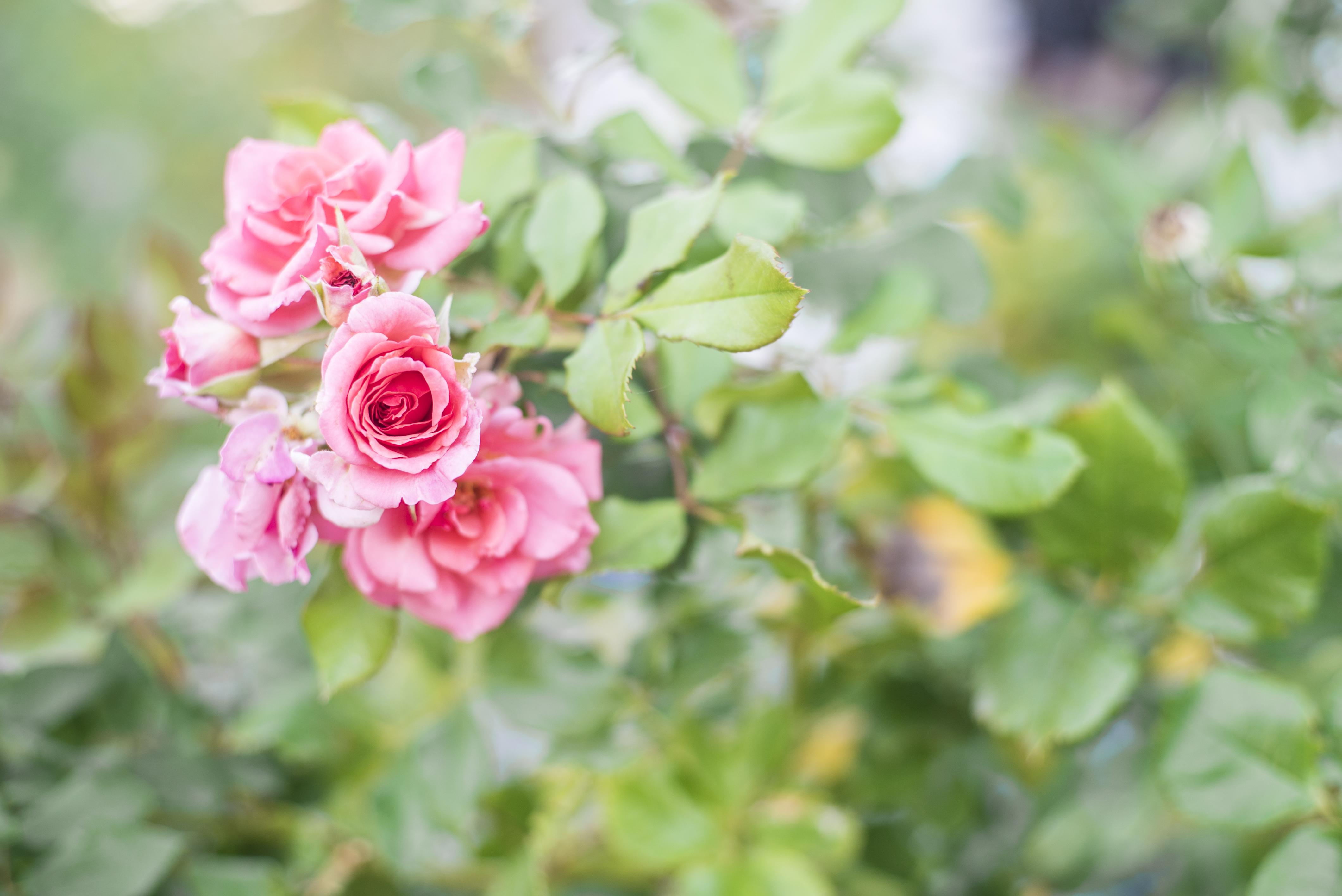 pink-rose_21272595122_o