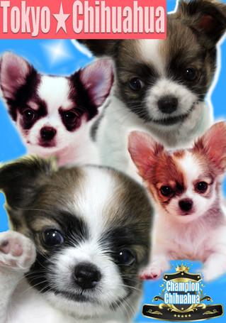東京チワワの子犬たち