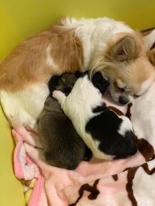 チワワ子犬販売予定チワワ赤ちゃん