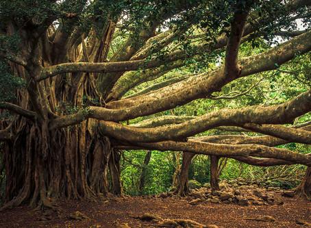 עץ הבַניַאן והאדם