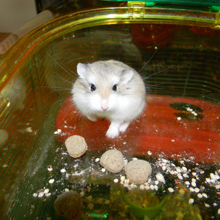 Rascal of the Month: Sushi the Class Hamster