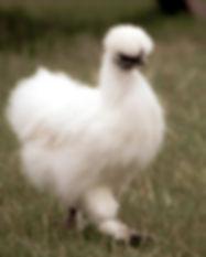 Flourish_Earth_School_Chicken.jpg