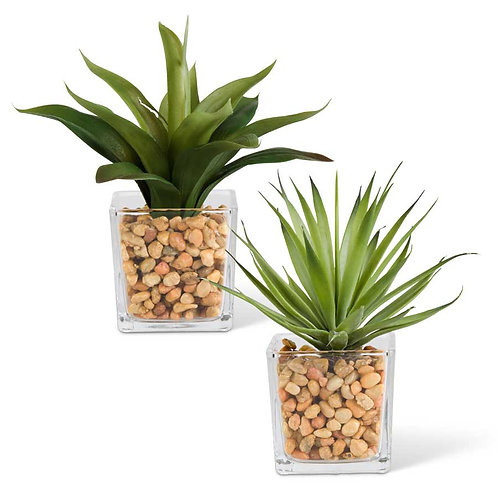 Agave in Square Glass Vases With Pebbles