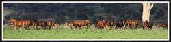 Yarrawa Park - Mares & Foals