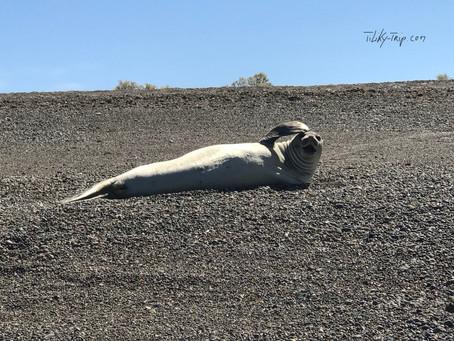 Escondida et Camarones- au plus près des éléphants de mer...
