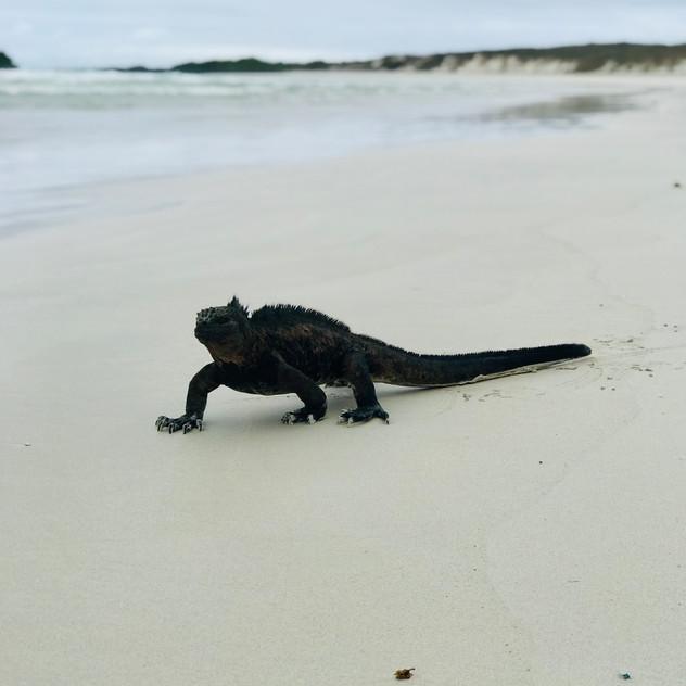 Tortuga Bay et ses iguanes