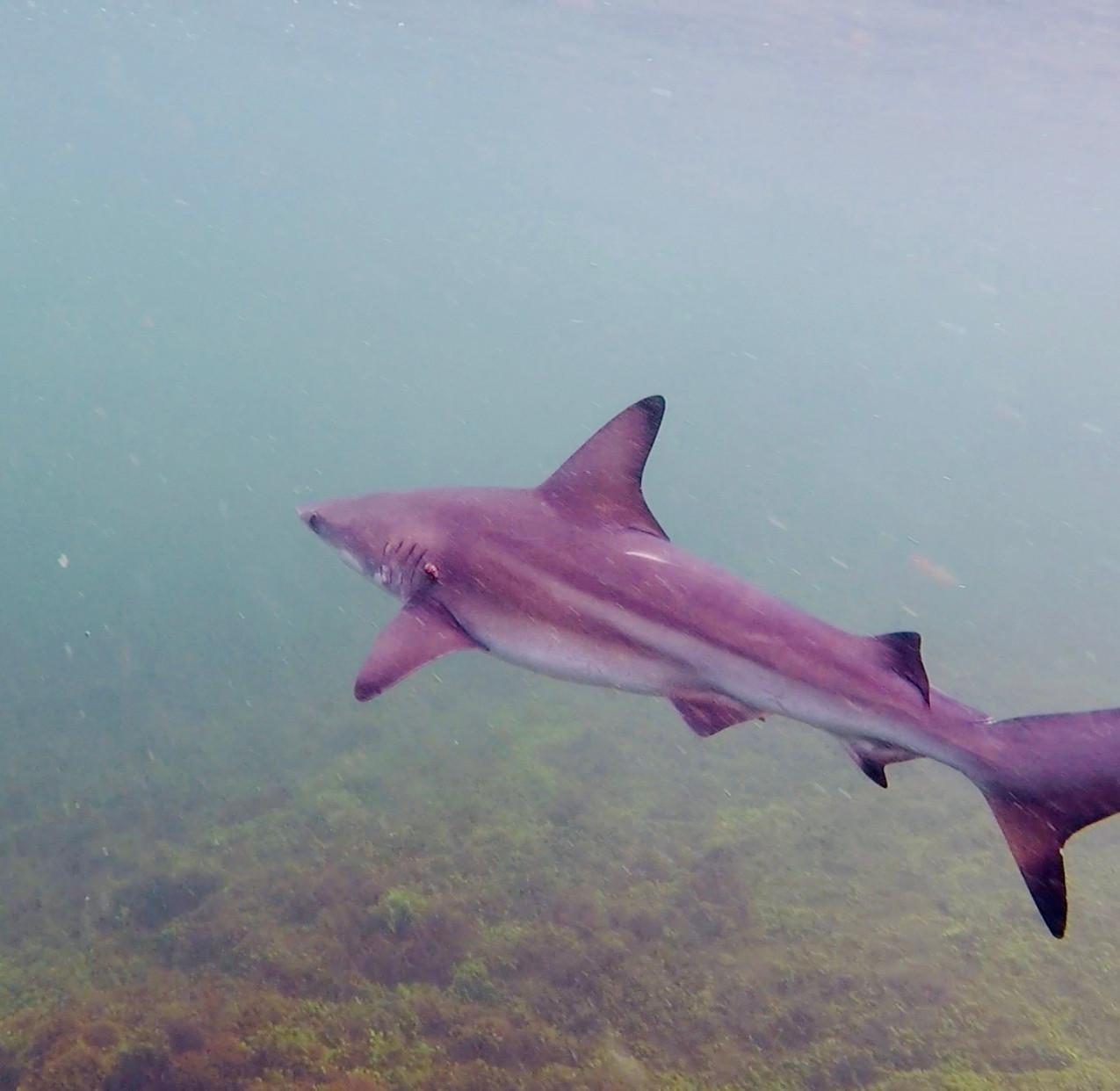 Bébé requins pointes noires-Los Tun.