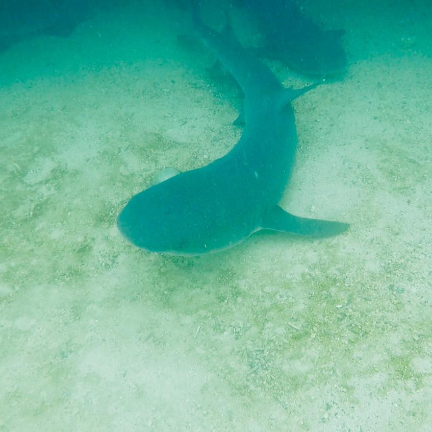 Requins aux tintorejas