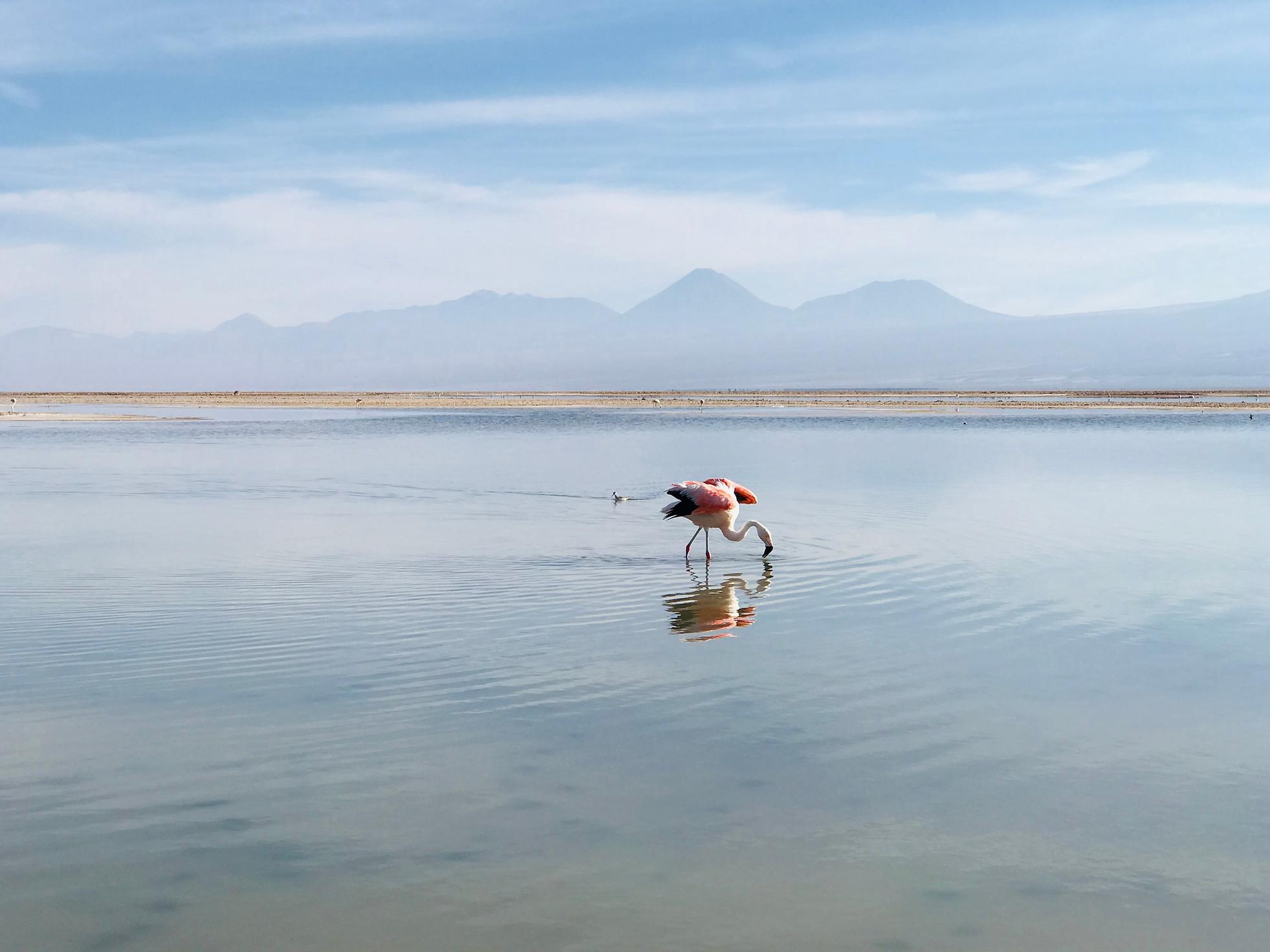 famant rose désert d'Atacama au Chili