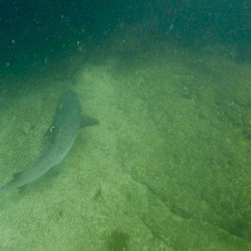Requins pointes blanches-los Tuneles