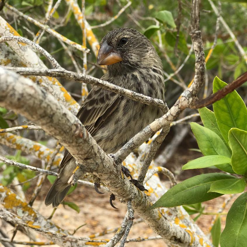 Les pinzons de Darwin