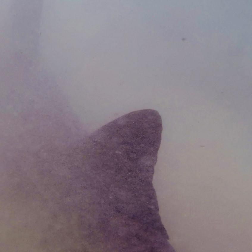 Requin Pointe Blanche-Playa Mansa