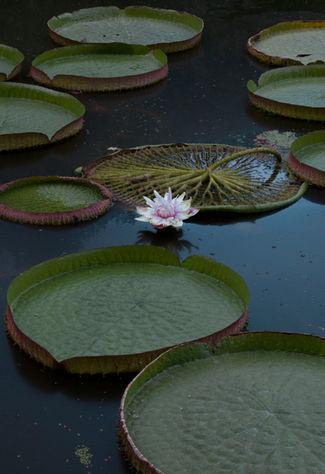 Nenúfar con flor (fotografía de stock)