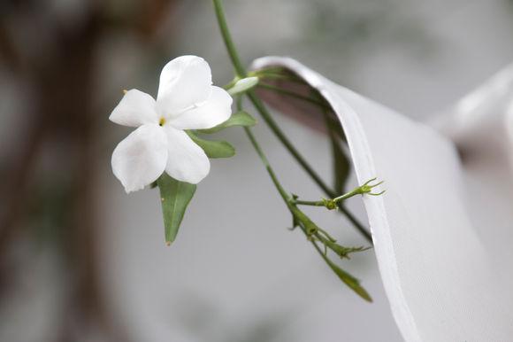 Jazmín blanco andaluz (fotografía de stock)