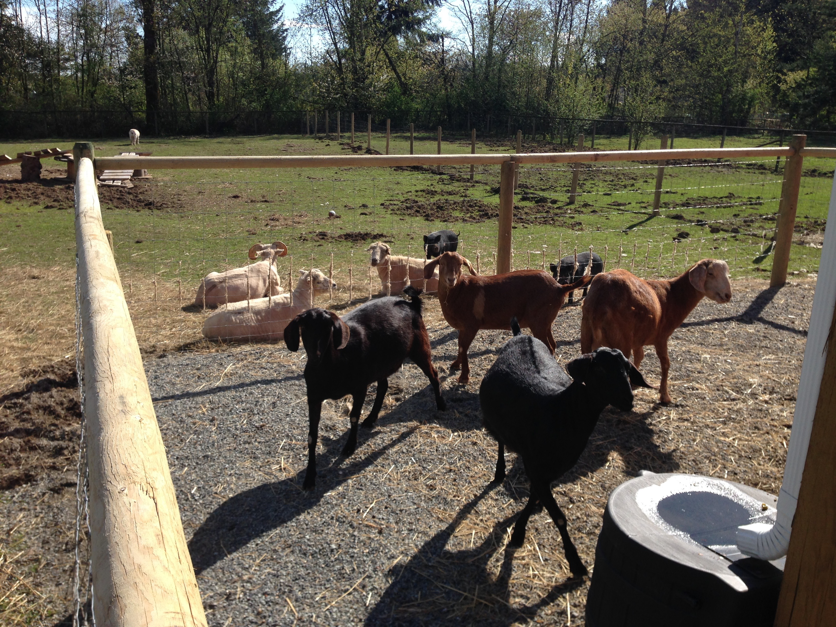 The Honey Goats