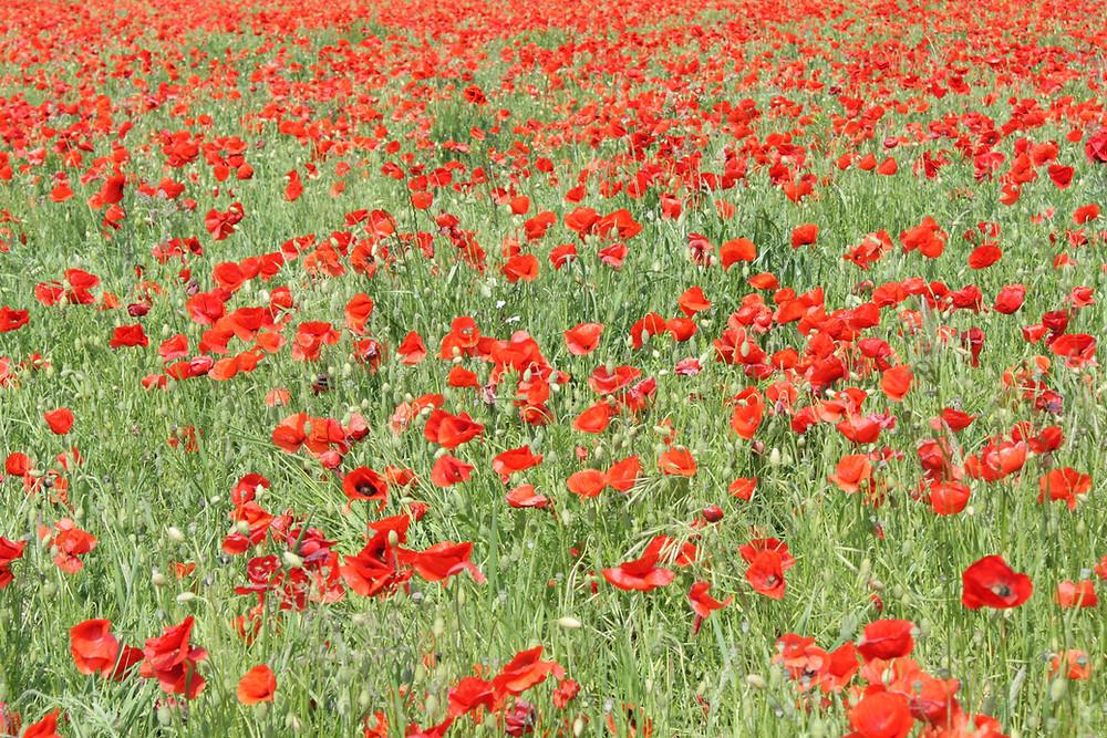 Champ de coquelicots,Somme