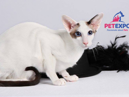 The Oriental Shorthair Cat