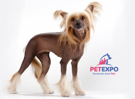 Meet The Chinese Crested