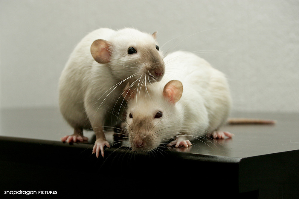 rats ; rat ; siamese ; pet ; pets ; petexpo ; exotic ; animal ;