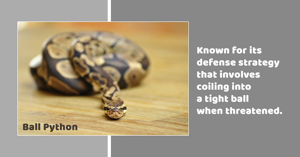 Ball Python ; Pet Snake