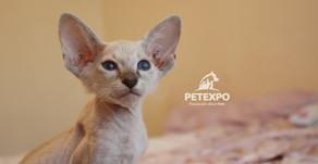 The Unique, Pretty Peterbald Cat