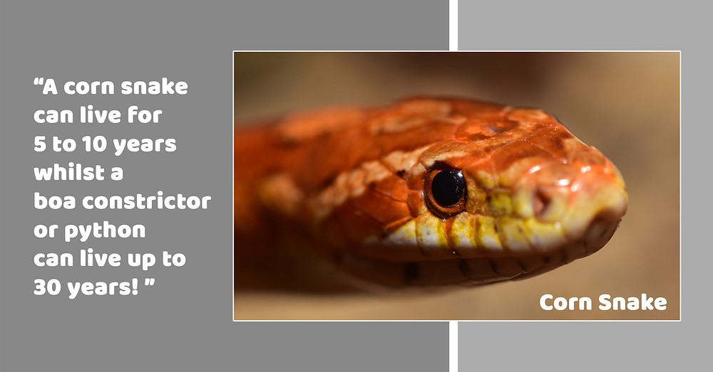 Corn Snake ; Lifespan ; Pet Snake ;