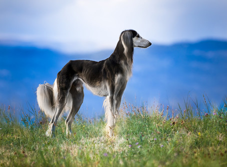 Living With A Saluki