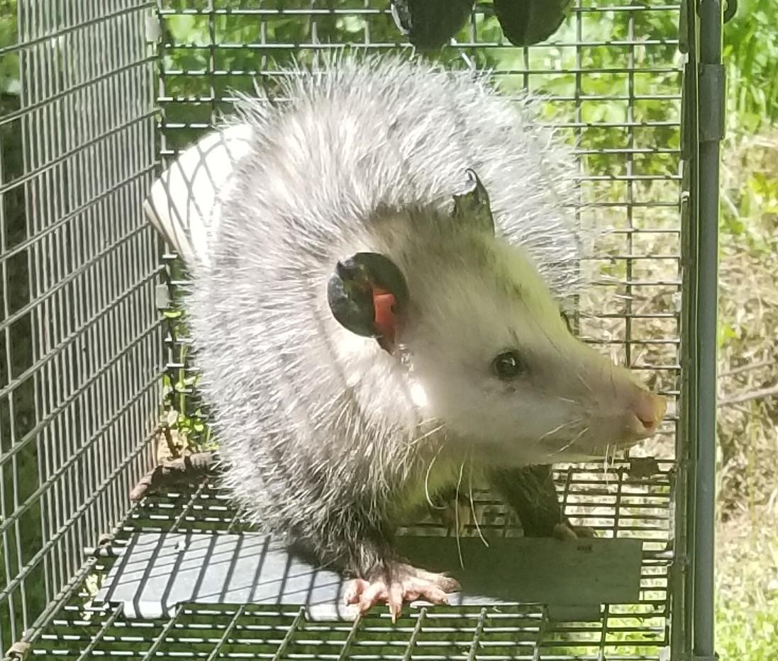 2020-04-12 13.10.14 possum.jpg