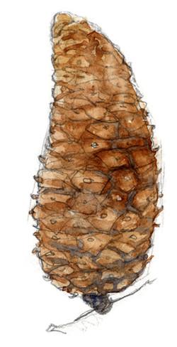 aquarelle cone pin maritime