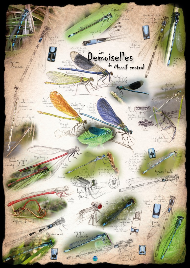 Demoiselles Massif Central