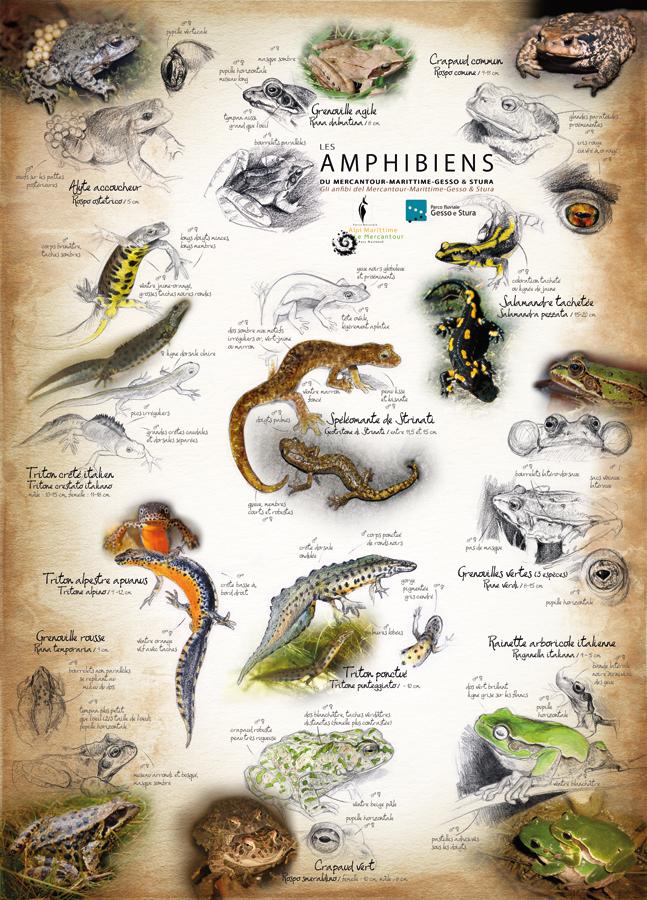 Amphibiens du PNM - recto