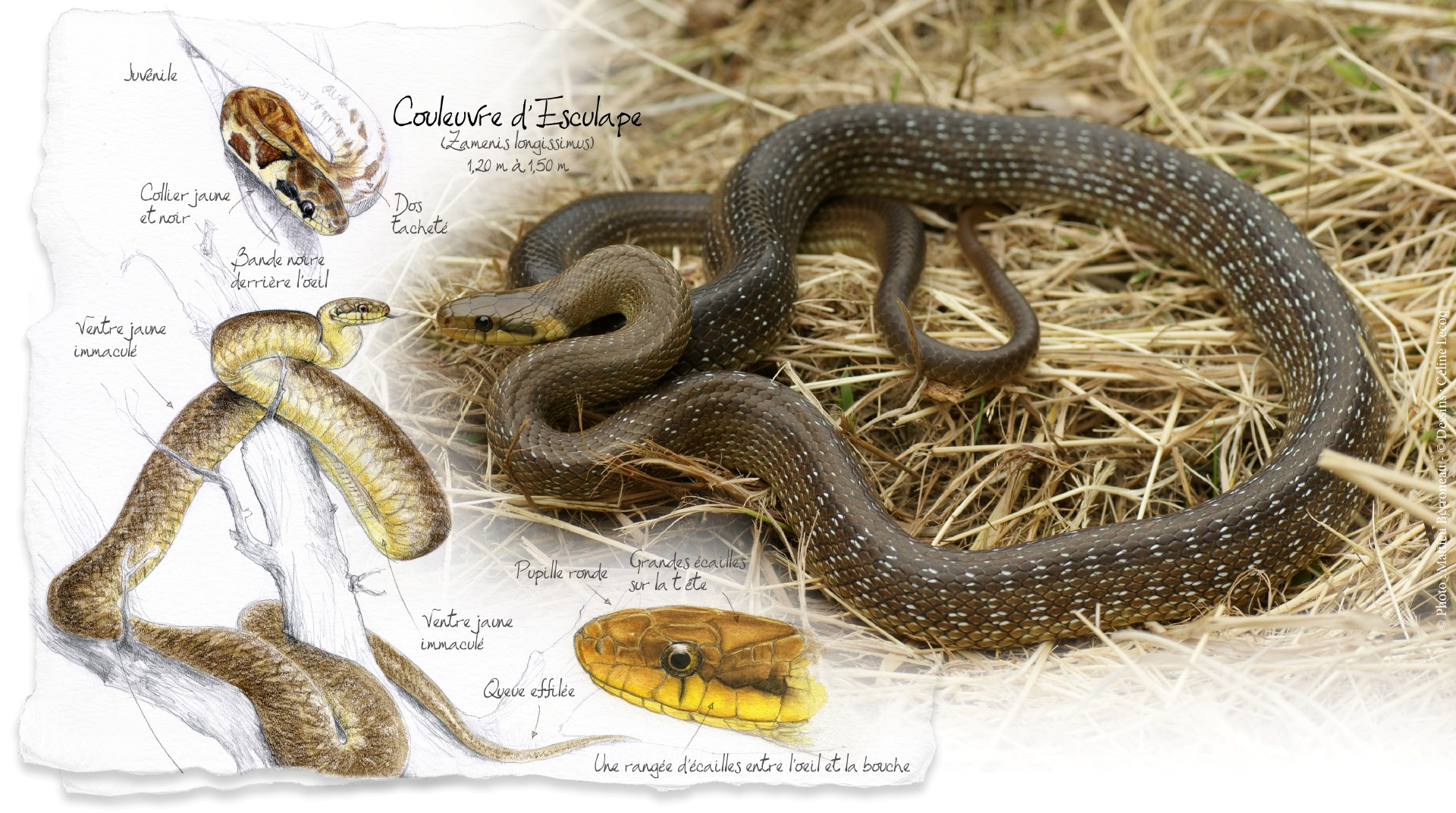 Wantedundragon Serpents