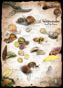 Gastéropodes de Picardie