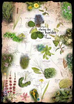 Plantes des zones humides