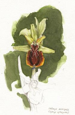 aquarelle ophrys araignée