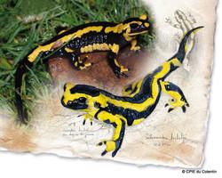 Description Salamandre tachetée