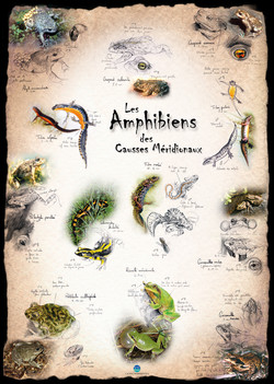 Amphibiens Causses Méridionaux