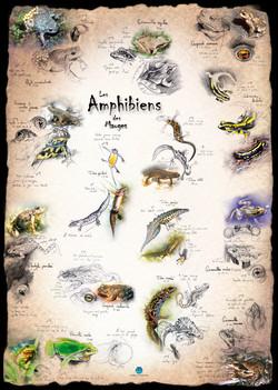 Amphibiens Mauges