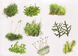 aquarelle planche mousses & lichens