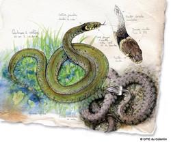 Description Couleuvre à collier