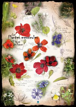 Plantes messicoles Hauts-de-France 1