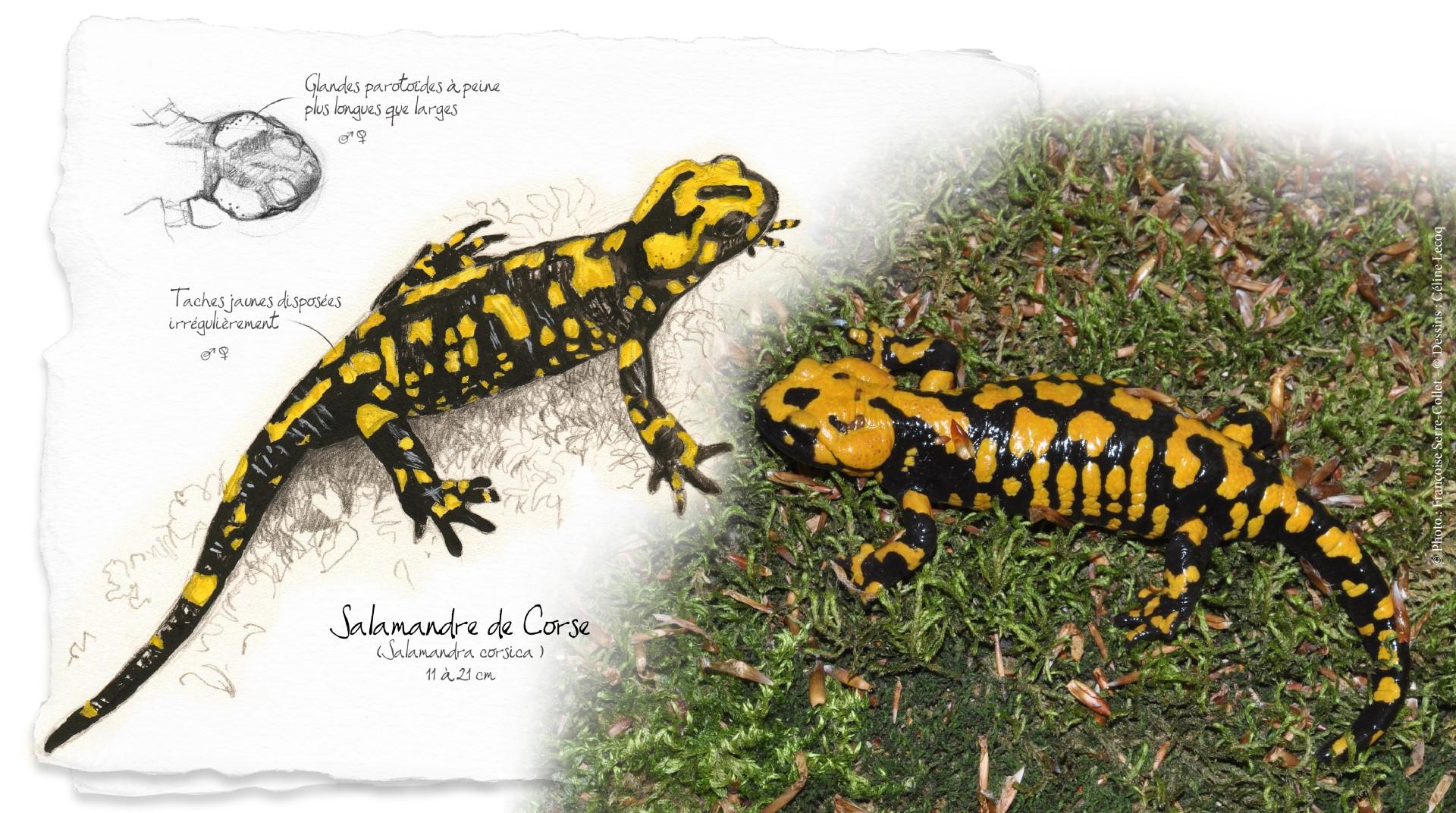 Salamandre corse