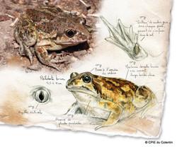 Description Pélobate brun