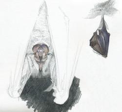 Grand-rhinolophe - aquarelle