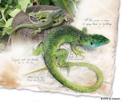 Description Lézard vert occidental