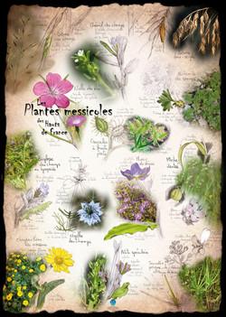 Plantes messicoles Hauts-de-France 2