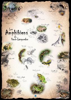 Amphibiens Haut Languedoc