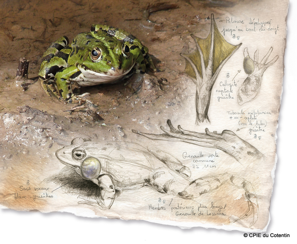 Description Grenouille verte commune