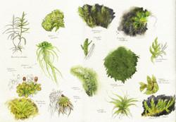 aquarelle planche2 mousses & lichens