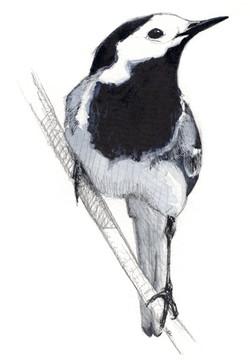 Bergeronnette grise - aquarelle